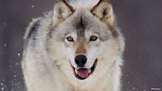 Wolves attack people in remote village of Naryn