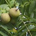 Kyrgyzstan to host festival of walnuts